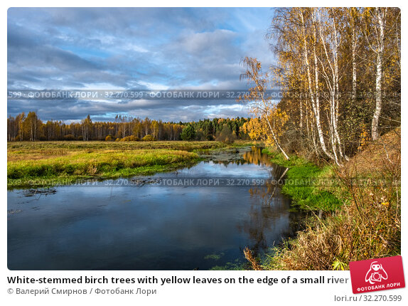 Купить «White-stemmed birch trees with yellow leaves on the edge of a small river», фото № 32270599, снято 5 октября 2019 г. (c) Валерий Смирнов / Фотобанк Лори