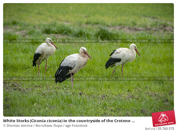 White Storks (Ciconia ciconia) in the countryside of the Crotone ... Стоковое фото, фотограф Dionisio Iemma / age Fotostock / Фотобанк Лори
