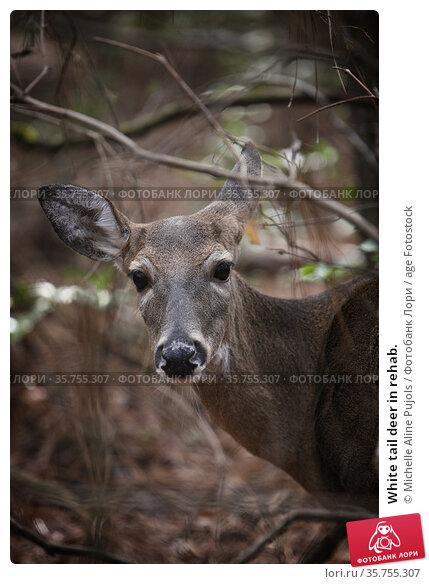 White tail deer in rehab. Стоковое фото, фотограф Michelle Aline Pujols / age Fotostock / Фотобанк Лори