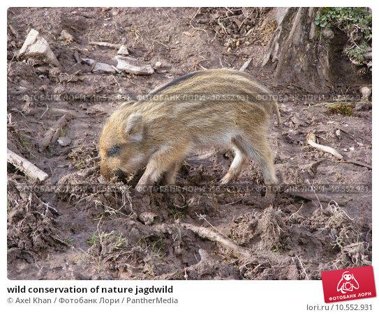 Купить «wild conservation of nature jagdwild», фото № 10552931, снято 23 марта 2019 г. (c) PantherMedia / Фотобанк Лори