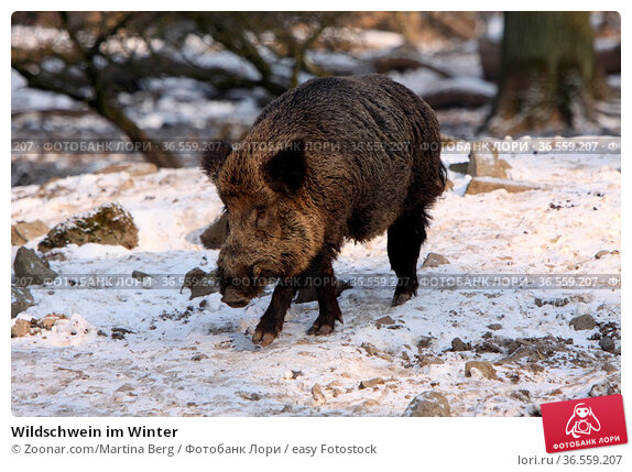 Wildschwein im Winter. Стоковое фото, фотограф Zoonar.com/Martina Berg / easy Fotostock / Фотобанк Лори