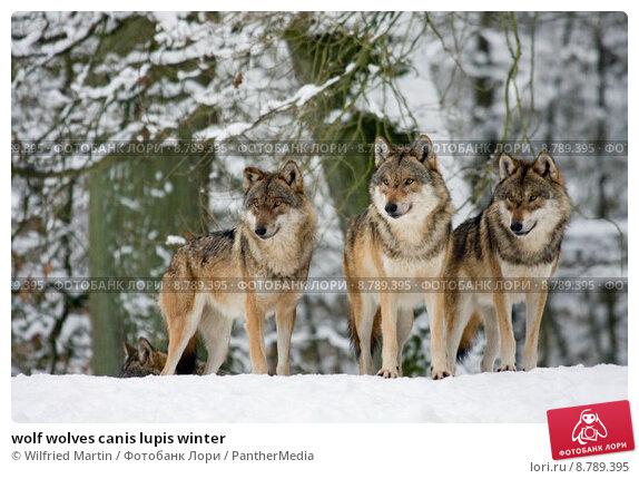 Купить «wolf wolves canis lupis winter», фото № 8789395, снято 24 февраля 2019 г. (c) PantherMedia / Фотобанк Лори