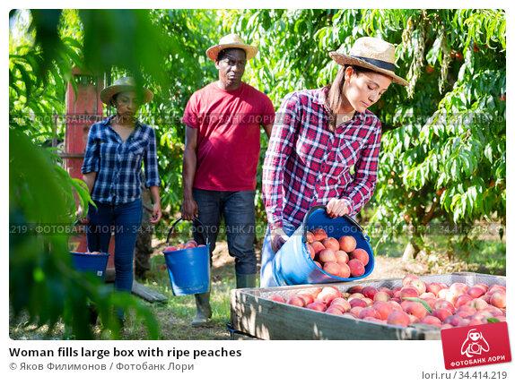 Woman fills large box with ripe peaches. Стоковое фото, фотограф Яков Филимонов / Фотобанк Лори