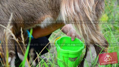 Купить «woman milking a goat in the open air. Russia», видеоролик № 26844015, снято 12 июля 2017 г. (c) Володина Ольга / Фотобанк Лори