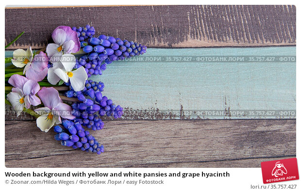 Wooden background with yellow and white pansies and grape hyacinth. Стоковое фото, фотограф Zoonar.com/Hilda Weges / easy Fotostock / Фотобанк Лори