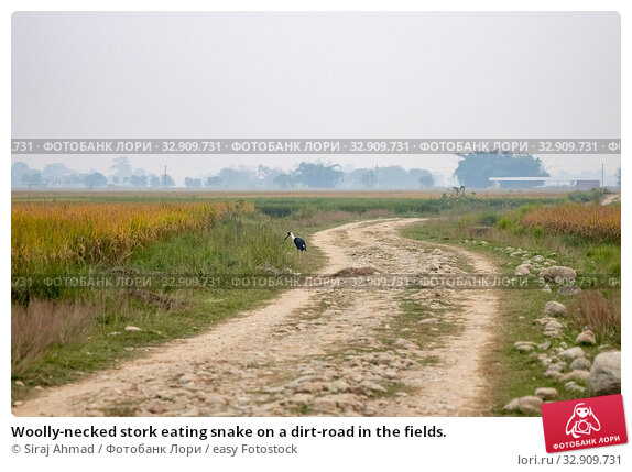 Woolly-necked stork eating snake on a dirt-road in the fields. Стоковое фото, фотограф Siraj Ahmad / easy Fotostock / Фотобанк Лори