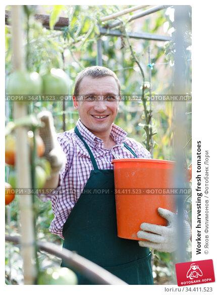 Worker harvesting fresh tomatoes. Стоковое фото, фотограф Яков Филимонов / Фотобанк Лори
