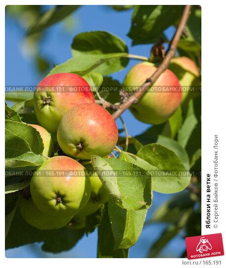 Купить «Яблоки на ветке», фото № 165191, снято 14 августа 2007 г. (c) Сергей Байков / Фотобанк Лори