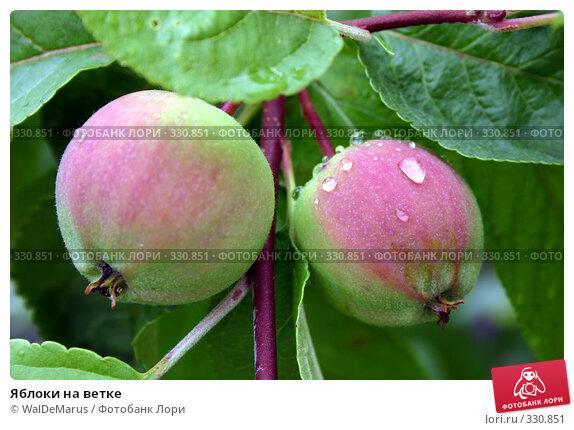 Яблоки на ветке, фото № 330851, снято 24 октября 2016 г. (c) WalDeMarus / Фотобанк Лори