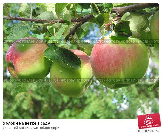 Яблоки на ветке в саду, фото № 96759, снято 5 сентября 2007 г. (c) Сергей Костин / Фотобанк Лори