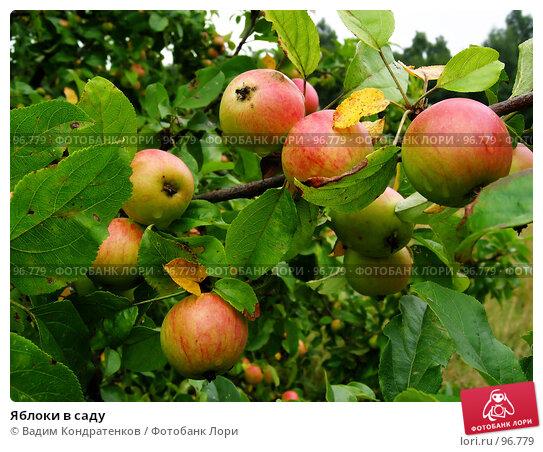 Яблоки в саду, фото № 96779, снято 25 октября 2016 г. (c) Вадим Кондратенков / Фотобанк Лори