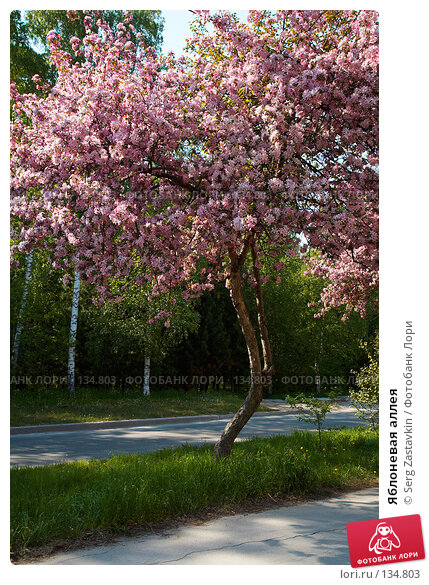 Яблоневая аллея, фото № 134803, снято 5 июня 2006 г. (c) Serg Zastavkin / Фотобанк Лори