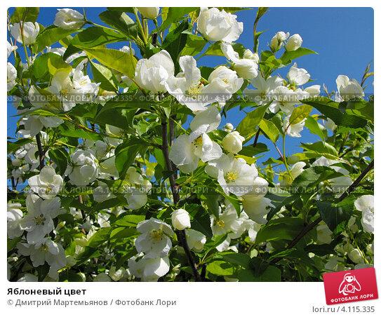 Яблоневый цвет. Стоковое фото, фотограф Дмитрий Мартемьянов / Фотобанк Лори