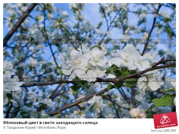 Яблоневый цвет в свете заходящего солнца, фото № 295391, снято 22 мая 2008 г. (c) Талдыкин Юрий / Фотобанк Лори