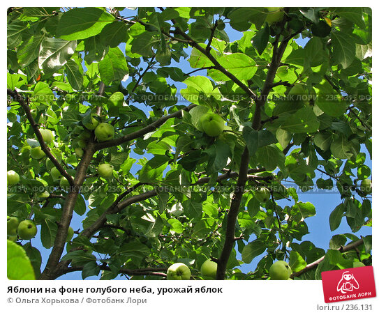 Купить «Яблони на фоне голубого неба, урожай яблок», фото № 236131, снято 29 июля 2007 г. (c) Ольга Хорькова / Фотобанк Лори