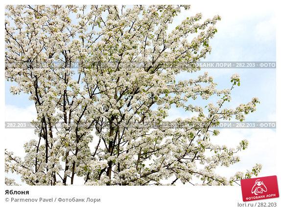 Яблоня, фото № 282203, снято 10 мая 2008 г. (c) Parmenov Pavel / Фотобанк Лори