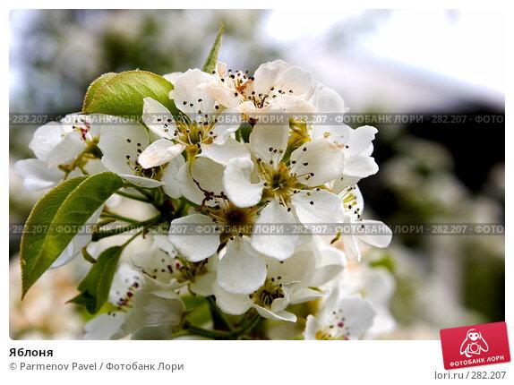 Яблоня, фото № 282207, снято 10 мая 2008 г. (c) Parmenov Pavel / Фотобанк Лори