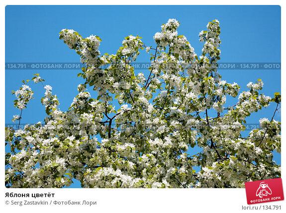 Яблоня цветёт, фото № 134791, снято 5 июня 2006 г. (c) Serg Zastavkin / Фотобанк Лори