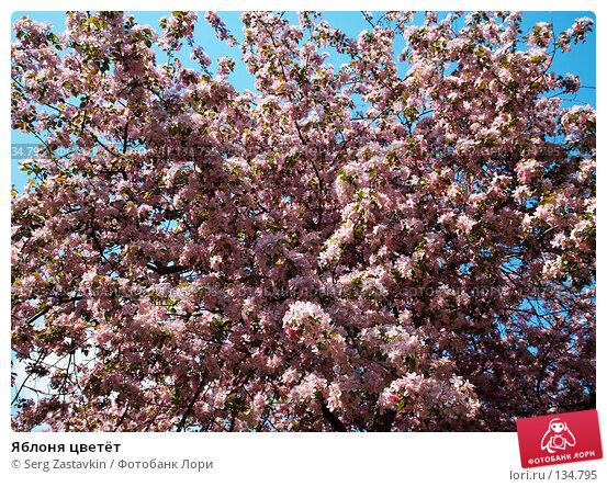Яблоня цветёт, фото № 134795, снято 5 июня 2006 г. (c) Serg Zastavkin / Фотобанк Лори