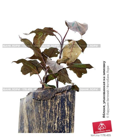 Яблоня, упакованная на зимовку, фото № 178455, снято 17 августа 2017 г. (c) Парушин Евгений / Фотобанк Лори