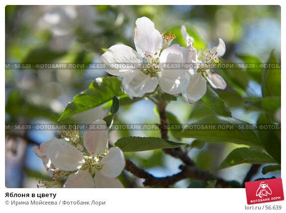Яблоня в цвету, эксклюзивное фото № 56639, снято 12 мая 2007 г. (c) Ирина Мойсеева / Фотобанк Лори