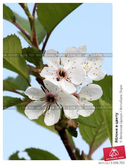 Яблоня в цвету. Стоковое фото, фотограф Вячеслав Цыкун / Фотобанк Лори
