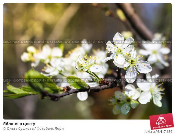 Яблоня в цвету. Стоковое фото, фотограф Ольга Сушкова / Фотобанк Лори