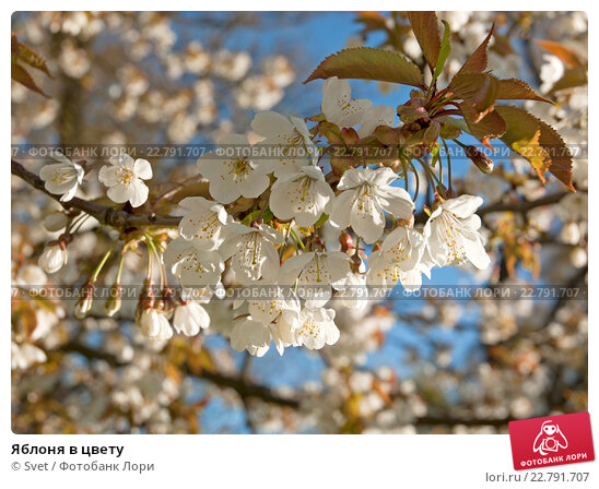 Купить «Яблоня в цвету», эксклюзивное фото № 22791707, снято 6 мая 2016 г. (c) Svet / Фотобанк Лори