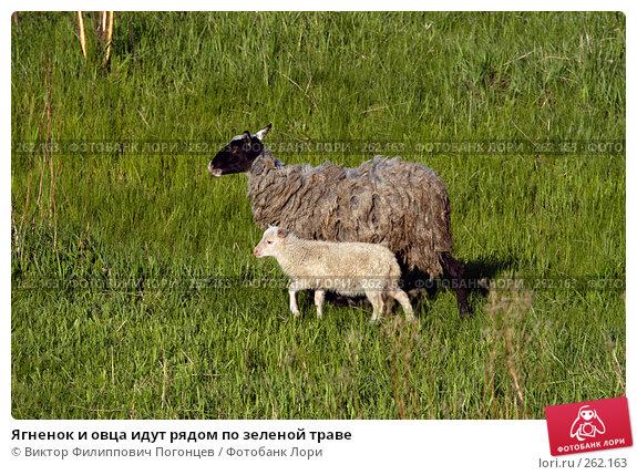 Ягненок и овца идут рядом по зеленой траве, фото № 262163, снято 27 апреля 2005 г. (c) Виктор Филиппович Погонцев / Фотобанк Лори