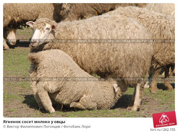 Ягненок сосет молоко у овцы, фото № 262155, снято 6 апреля 2006 г. (c) Виктор Филиппович Погонцев / Фотобанк Лори