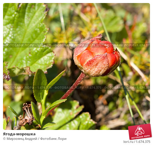 Купить «Ягода-морошка», фото № 1674375, снято 16 июля 2006 г. (c) Мирзоянц Андрей / Фотобанк Лори