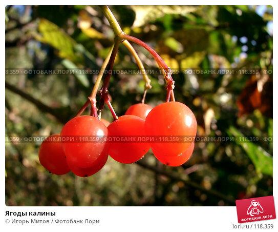 Ягоды калины, фото № 118359, снято 23 сентября 2007 г. (c) Игорь Митов / Фотобанк Лори