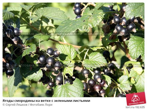 Ягоды смородины на ветке с зелеными листьями, фото № 82635, снято 22 июля 2007 г. (c) Сергей Лешков / Фотобанк Лори