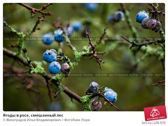 Ягоды в росе, смешанный лес, фото № 235519, снято 27 октября 2007 г. (c) Виноградов Илья Владимирович / Фотобанк Лори