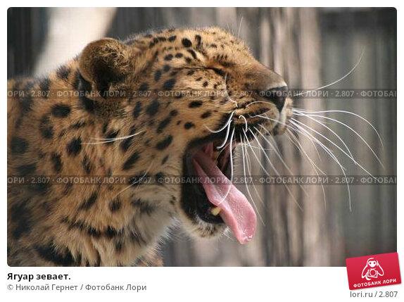 Ягуар зевает., фото № 2807, снято 10 мая 2006 г. (c) Николай Гернет / Фотобанк Лори