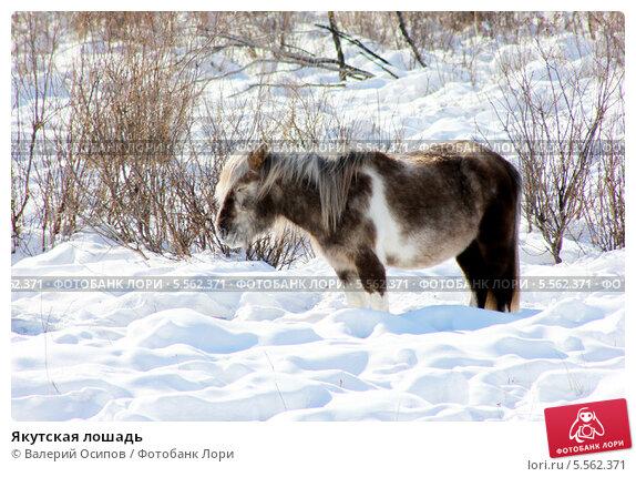 Купить «Якутская лошадь», фото № 5562371, снято 23 марта 2013 г. (c) Валерий Осипов / Фотобанк Лори