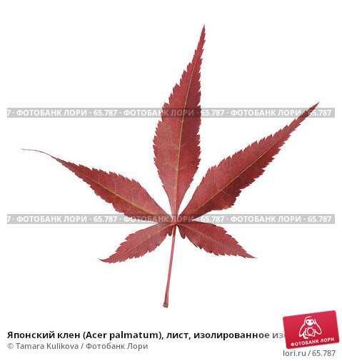 Японский клен (Acer palmatum), лист, изолированное изображение, фото № 65787, снято 27 июля 2007 г. (c) Tamara Kulikova / Фотобанк Лори