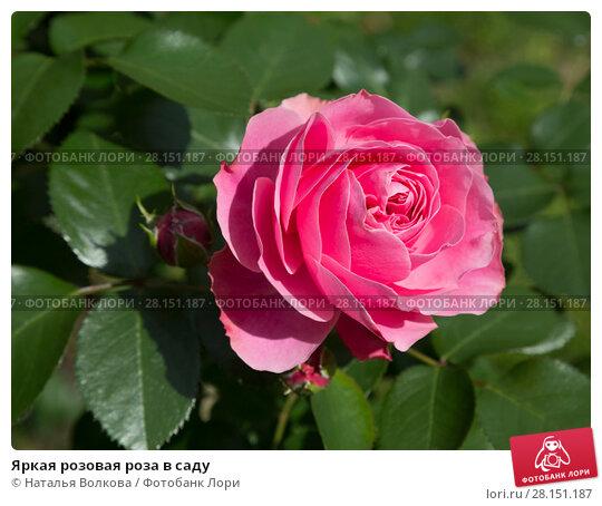 Купить «Яркая розовая роза в саду», фото № 28151187, снято 29 июня 2017 г. (c) Наталья Волкова / Фотобанк Лори