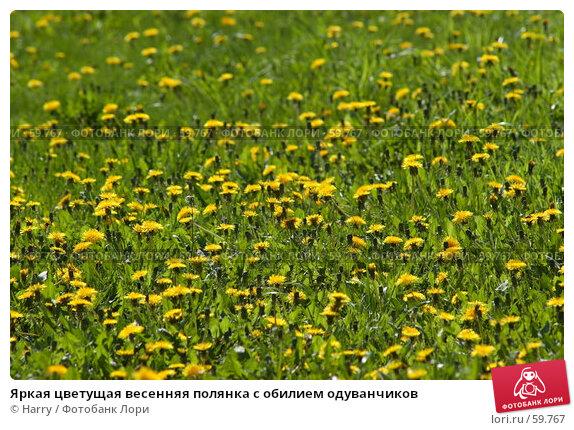 Купить «Яркая цветущая весенняя полянка с обилием одуванчиков», фото № 59767, снято 23 июня 2005 г. (c) Harry / Фотобанк Лори