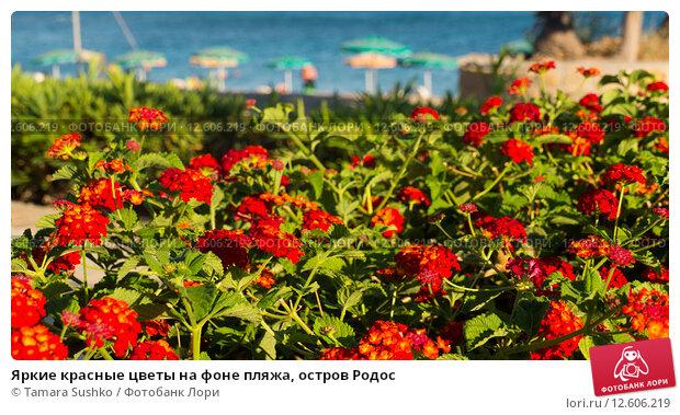 Купить «Яркие красные цветы на фоне пляжа, остров Родос», фото № 12606219, снято 22 августа 2015 г. (c) Tamara Sushko / Фотобанк Лори