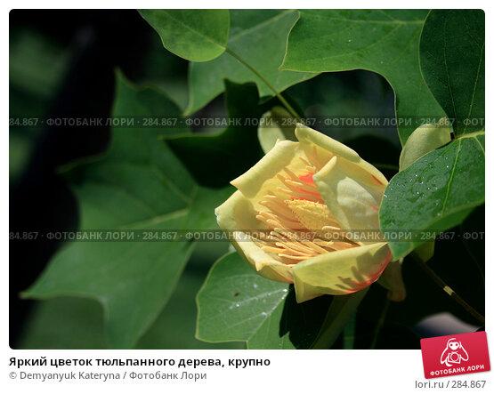 Купить «Яркий цветок тюльпанного дерева, крупно», фото № 284867, снято 14 мая 2008 г. (c) Demyanyuk Kateryna / Фотобанк Лори
