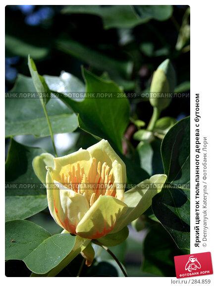 Яркий цветок тюльпанного дерева с бутоном, фото № 284859, снято 14 мая 2008 г. (c) Demyanyuk Kateryna / Фотобанк Лори