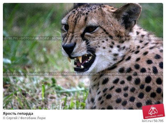 Ярость гепарда, фото № 50795, снято 6 июня 2007 г. (c) Сергей / Фотобанк Лори