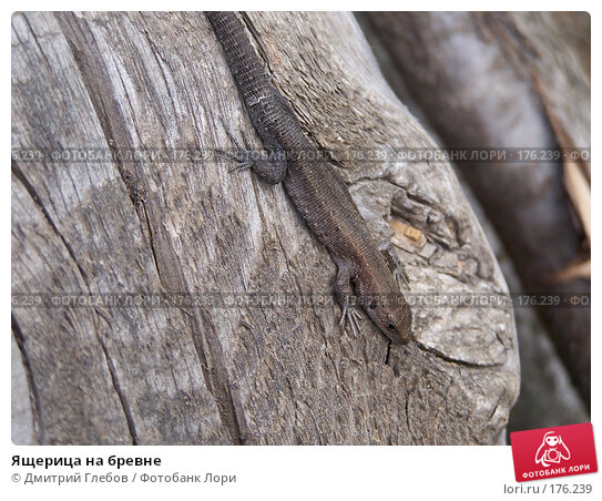 Ящерица на бревне, фото № 176239, снято 7 мая 2006 г. (c) Дмитрий Глебов / Фотобанк Лори