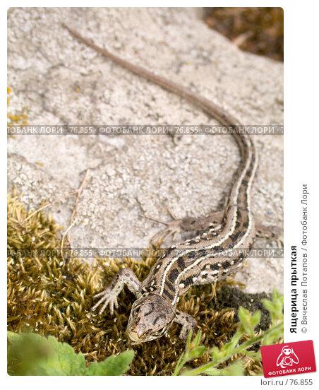 Ящерица прыткая, фото № 76855, снято 12 июня 2007 г. (c) Вячеслав Потапов / Фотобанк Лори