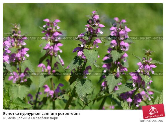 Яснотка пурпурная Lamium purpureum, фото № 209207, снято 20 мая 2007 г. (c) Елена Блохина / Фотобанк Лори