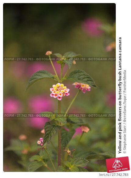 Купить «Yellow and pink flowers on butterfly bush Lantana camara», фото № 27742783, снято 26 апреля 2019 г. (c) PantherMedia / Фотобанк Лори