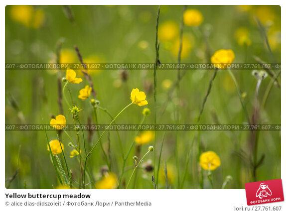 Купить «Yellow buttercup meadow», фото № 27761607, снято 26 апреля 2019 г. (c) PantherMedia / Фотобанк Лори