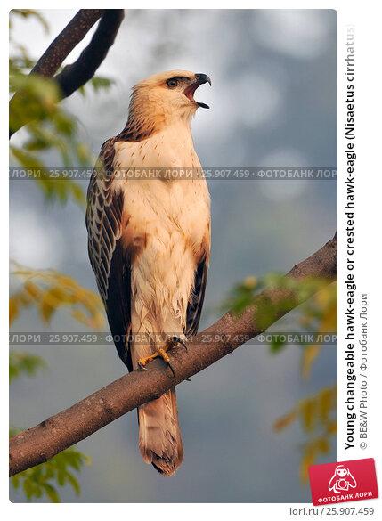 Купить «Young changeable hawk-eagle or crested hawk-eagle (Nisaetus cirrhatus) a bird of prey in Jim Corbett National Park, India», фото № 25907459, снято 23 апреля 2019 г. (c) BE&W Photo / Фотобанк Лори