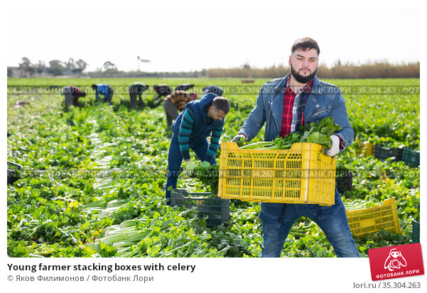 Young farmer stacking boxes with celery. Стоковое фото, фотограф Яков Филимонов / Фотобанк Лори